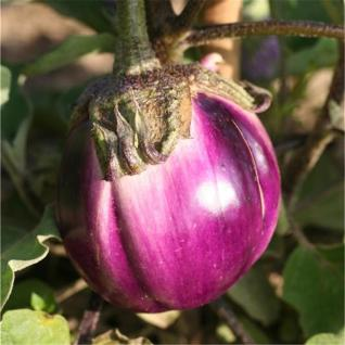 eggplant violet florence