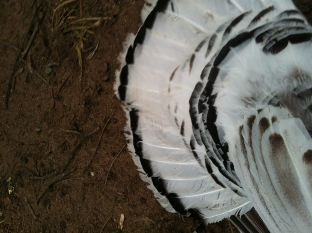 turkey-feather